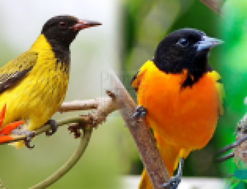 The mountain oriole