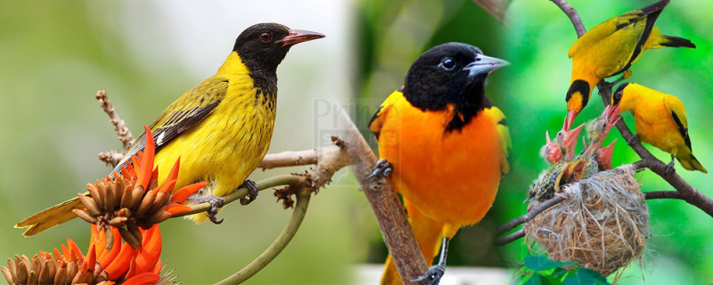 The mountain oriole bird in Bwindi Impenetrable