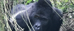 2 Days Rwanda Gorilla Trekking Safari Volcanoes National Park