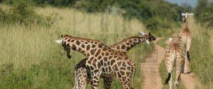 2 Days Uganda Wildlife Safari tour Queen Elizabeth National Park