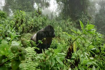 4 Days Rwanda Gorilla Safari and Golden Monkey Tracking Safari Volcanoes Rwanda