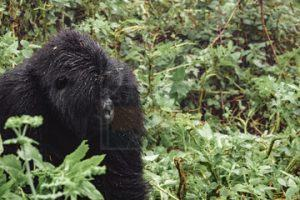 13 Days Gorilla Safari Tour Wildlife Safari