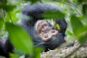 6 Days Uganda Gorilla Safari Chimpanzee Trekking Wildlife Tour