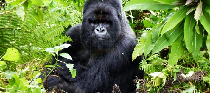 6 days gorillas wildlife safari uganda