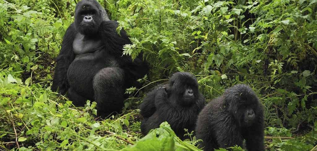 Congo Safaris Tours - 5 Days Congo Primate Safari Tour
