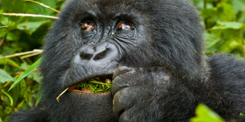 7 Days Congo Gorilla Trekking Safaris