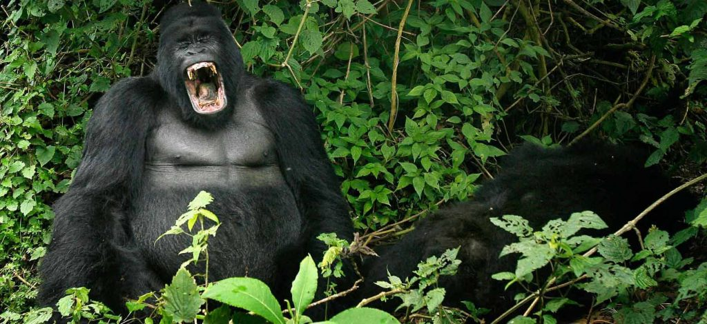 5 Days Congo Primate Safari Tour
