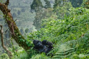 Congo Safaris Tours - 7 Days Congo Gorilla Trekking Safaris