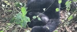 3 Days Uganda Gorilla Safari to Bwindi Impenetrable National Park