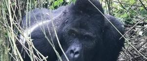 2 Days Rwanda Gorilla Trekking Safari Volcanoes National Park