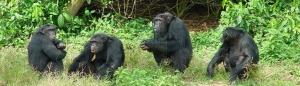 6 Days Uganda Gorilla Safari Chimpanzee Trekking Wildlife Tour