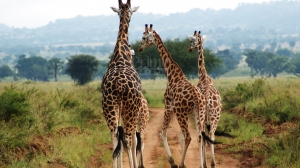 18 Days Uganda Comprehensive Safari