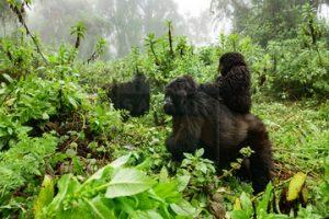 18 Days Gorilla Safari Uganda Tour