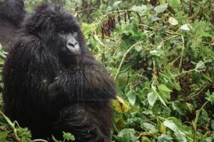 7 Days Rwanda Gorilla Trekking Safari