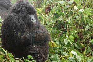5 Days Rwanda Gorilla Tour and Chimpanzee Safari