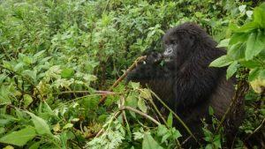 16 Days Uganda Gorilla Safari Wildlife