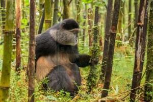 4 Days Rwanda Gorilla Safari and Golden Monkey Tracking Safari Volcanoes Rwanda