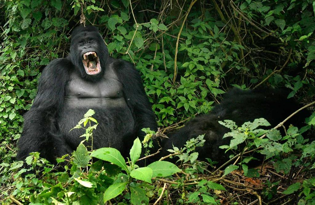 4 Days Congo Gorilla Trekking