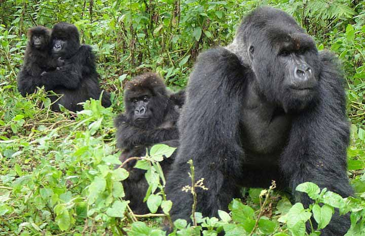 The best mountain gorilla trekking destinations in Africa – Africa Safari News