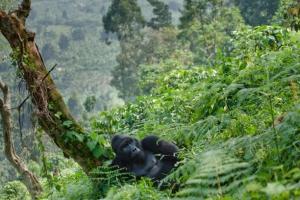 Congo Safaris Tours - 7 Days Congo Gorilla Trekking Safaris
