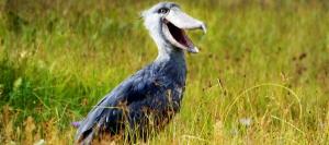 14 Days Uganda Birding Safari Tours