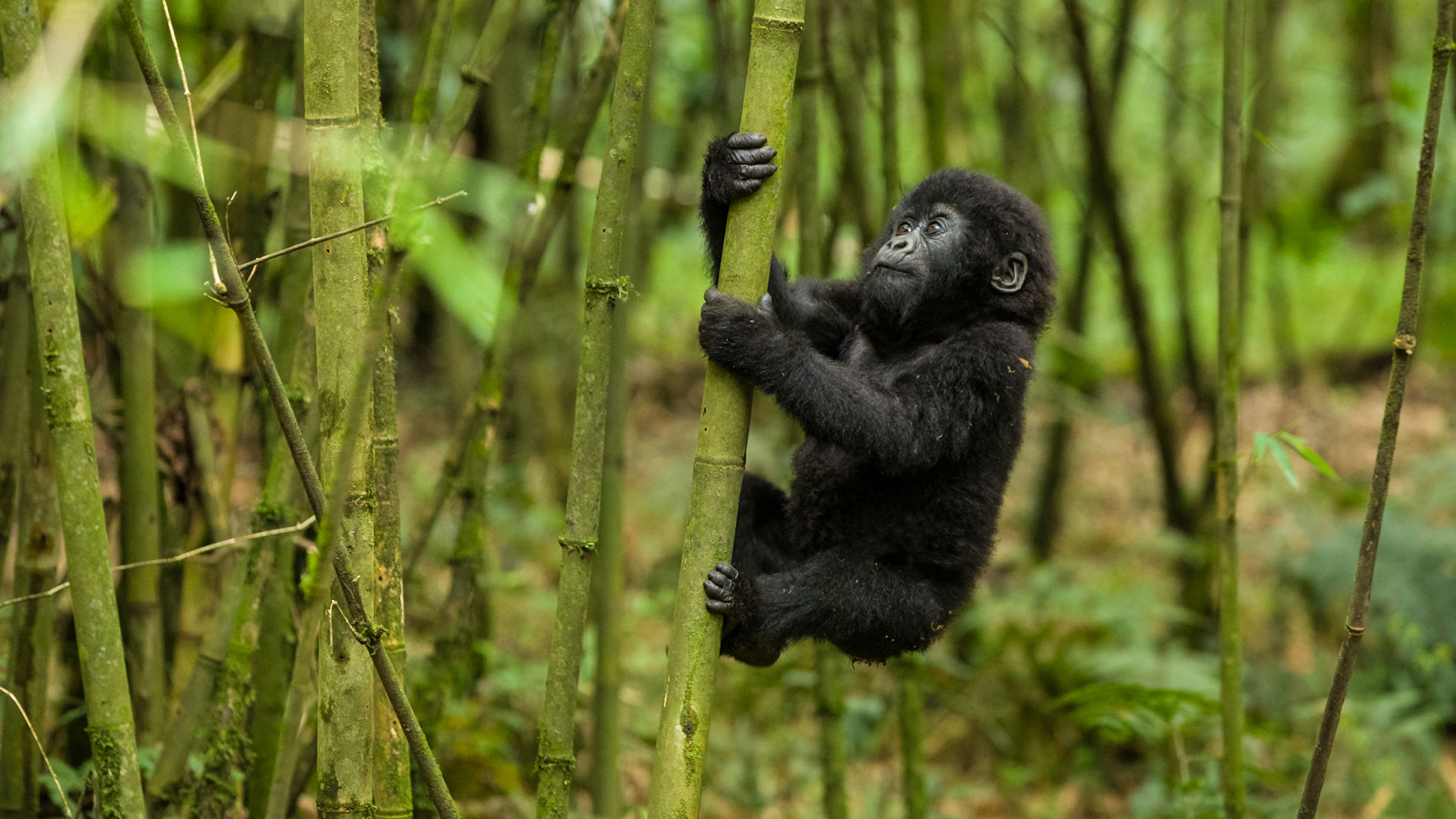 Kahuzi Biega National park-Virunga National park Congo