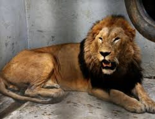 Letaba- The male Lion at UWA dies while Being Transported from Fort Portal